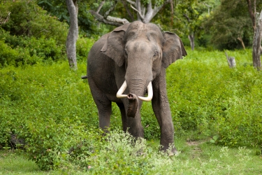 elephas_maximus_bandipur