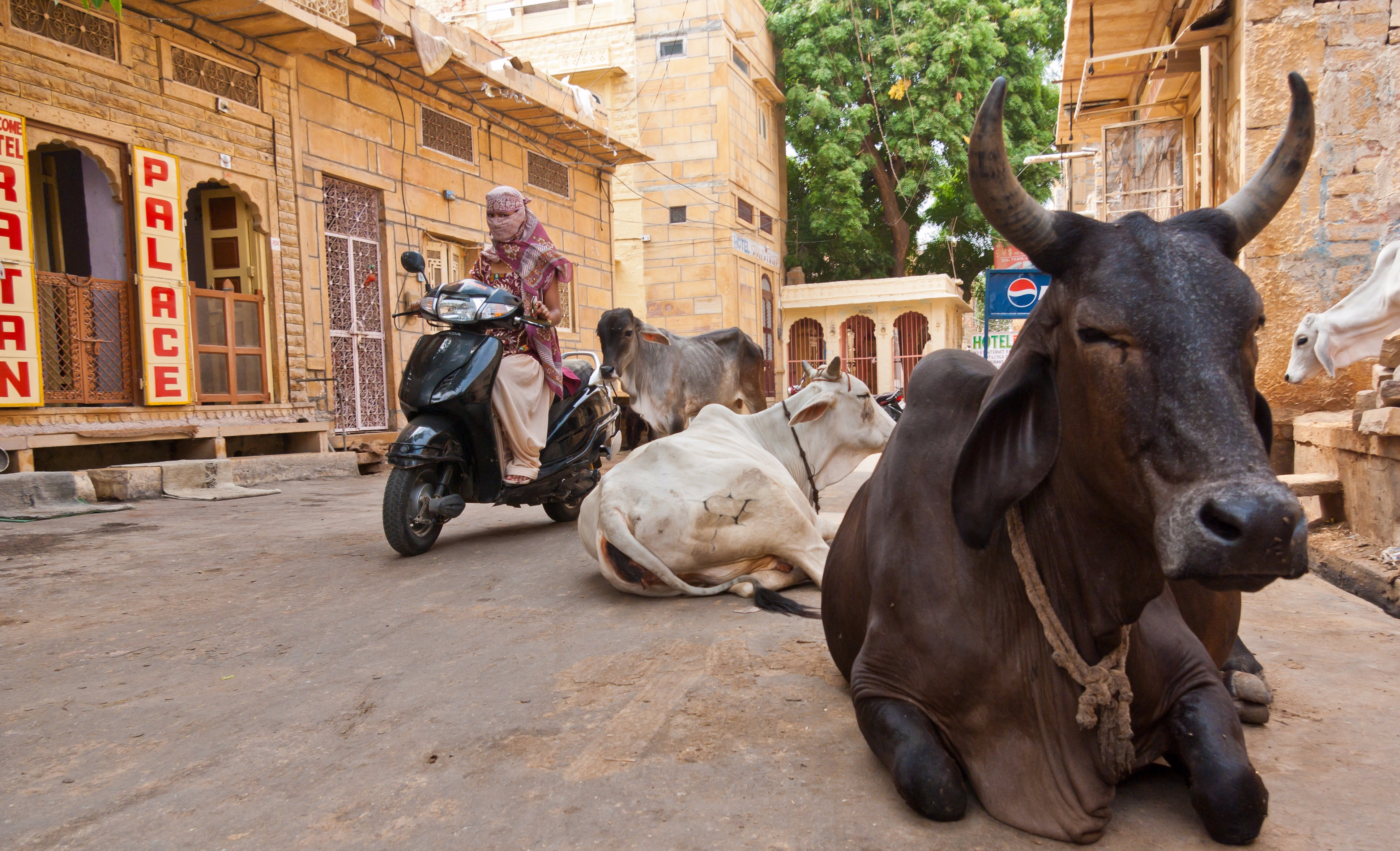 Holy_cow_in_Jaisalmer_06